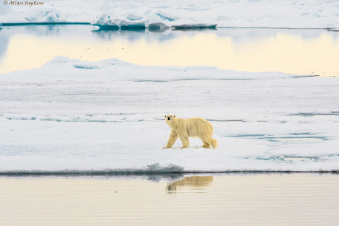 The polar bear disappears from Svalbard when the ice is melting. THis picture is from Spitsbergen last summer. Photo: Allan Hopkins/flickr.com