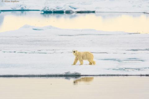Isbjørnen forsvinner fra Svalbard når isen smelter. Dette bildet er fra Spitsbergen i fjor sommer. Foto: Allan Hopkins/flickr.com